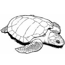 schildkroten ausmalbilder #schildkröte #malvorlagen #