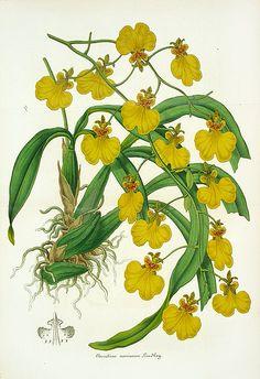 Lemaire Botanical Prints - Orchid                                                                                                                                                     Mais