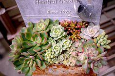 Succulents 112405.jpg