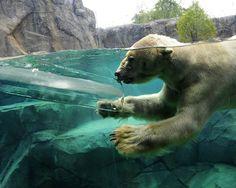 Polar Bear in Water Wallpaper