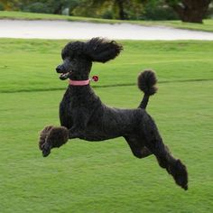 "#Standard #poodle #black ""Roxy Prancing"" - Roxy loves prancing around the golf course"