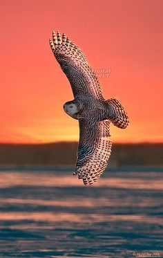 ~~Snowy owl - Harfang des neiges by www.digitaldirect.ca~~