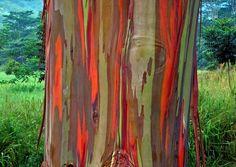 Rainbow Bark | 10 Not Normal Phenomena That Actually Exist
