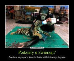 Podziały u zwierząt? – Dwuletni szympans karmi mlekiem 60-dniowego tygrysa Animals And Pets, Cute Animals, Equality, Harry Potter, Humor, Cool Stuff, Memes, Sweet, Funny