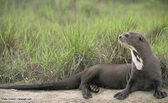 The Giant River Otter was listed as endangered in 1999 and wild population estimates are typically below 5,000. It is one of the most endangered mammal species in the neotropics. Habitat degradation and loss is the greatest current threat.