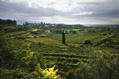 Vineyards of Poggio al Tufo Winery - Pitigliano (GR)