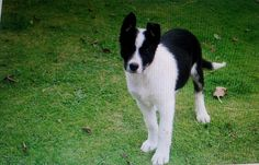 12 Best Border Collie Kelpie Mix Images Border Collie Collie Dogs