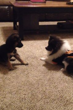 Tito and Max meeting for the first time! #puppylove