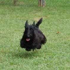 What Every Scottish Terrier Owner Knows