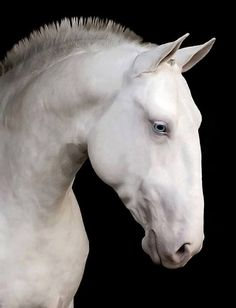 This is Ghost. He  is a powerful stallion that  is a bit taller than his son Diesel. He is Diesel, Sun Dance, and Whiskeys father. He is gentle and kind but don't get in his bad side he is a fighter. He is mostly calm and would like to talk problems out unlike his son Diesel who can have a temper. He is single after his mate died. He had two beautiful clear blue eyes. He let his son, Diesel, take over the Herd after his mate died but Diesel respects his father's opinions.