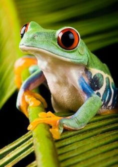 Red-Eyed Tree Frog (70 pieces)