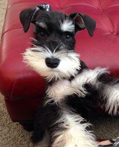 Puppy schnauzer - Fleury at 12 weeks
