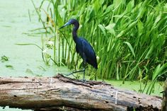 Texas little blue heron