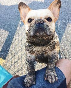 #frenchbulldogpuppy