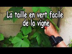 Comment tailler en vert une jeune vigne ? - YouTube