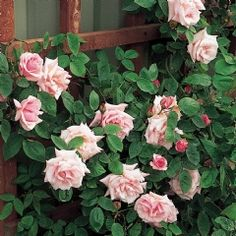 Kathleen Harrop  - Category: Climbing and Rambler Roses  (Climbing Roses) Bred ByDickson; Colour: Light Pink Flower; Type:Semi-double;  Size: Medium Climber; Hardiness: Hardy; Fragrance: Old Rose Strong; Repeating: Good; Special Characteristics: Good repeat flowering, Thornless.     -     A soft pink sport of the better known Zéphirine Drouhin. Many find it a more pleasing colour. It is equally good but may be a little less vigorous. Perpetual flowering and very fragrant.