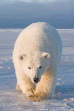 ☀Polar Bear  (by Steve Kazlowski*)