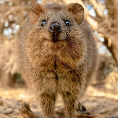 30 Funny Quokka Pictures That Will Make You Book a Flight to Australia to See Them - Happy Animals, Funny Animals, Cute Animals, Quokka Animal, Australia Animals, Tier Fotos, Cute Animal Pictures, Funny Pictures, Animals Of The World
