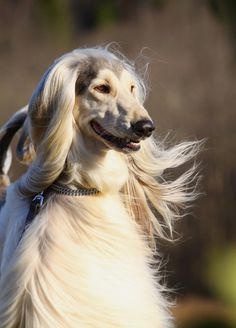 The Afghan Hound is a tall and long-haired dog from Afghanistan. It is believed to be one of the oldest types of dogs still in existence.