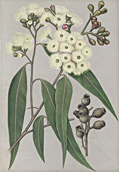 Australian Botanical Illustration Corymbia maculata Spotted Gum artist: Edward Minchen from: 'The Flowering Plants and Ferns of New South Wales - Part by J H Maiden NSW Government Printing Office Painted as Eucalyptus maculata Australian Wildflowers, Australian Flowers, Australian Plants, Illustration Botanique, Plant Illustration, Vintage Botanical Prints, Botanical Drawings, Botanical Flowers, Botanical Art
