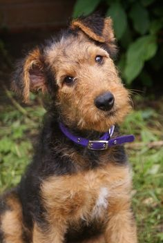 OMG this 11 week-old Airedale Terrier Puppy is absolutely adorable! Welsh Terrier, Fox Terriers, Airedale Terrier, Wire Fox Terrier, Silly Dogs, Cute Dogs, Lakeland Terrier, Dog Eyes, Dog Grooming