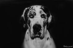 #Lensbaby #Sweet50 #Greatdane #Portrait