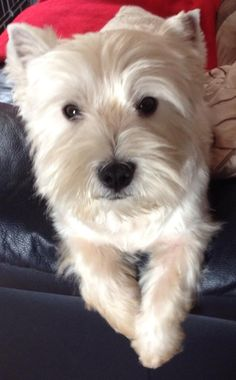 What a sophisticated Westie! Eddie, owned by Liz McGuire in the UK. Via the I Love My Westie FB page.
