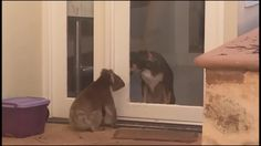 "A heartwarming video has emerged of a beautiful friendship between a dog and a koala. The footage, captured at a home in Adelaide, Australia, shows a wild koala wandering up to the front door of the property, while the dog looks on with interest on the other side. ""The Koala spent a fair bit of time with the dog before heading off to a new tree,"" the filmer wrote online. ++PLEASE NOTE: MUSIC IS ROYALTY-FREE++ ""Quirky Dog"" Kevin MacLeod (incompetech.com) Licensed under Crea..."