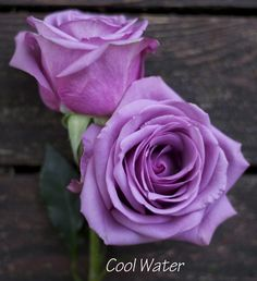 lavender rose by Harvest Wholesale