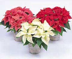 Flor de Pascua, Poinsetia, Estrella Federal, Pascuero, Poinsettia, Estrella de Navidad