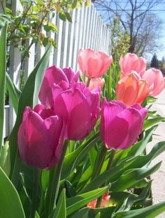 Beautiful pink tulips