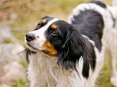 Conheça a raça Cão d'Água Holandês
