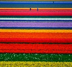 Holland field of tulips