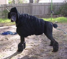 Poodle costume - Turn your doberman into a poodle