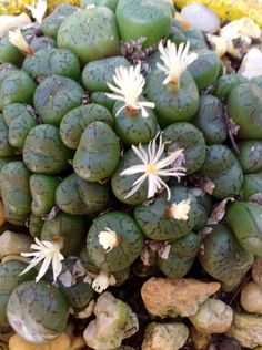"CONOPHYTUM MINIMUM ""SCITULUM""."
