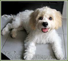 Just like our darling Cavachon, Izzy.  She's 8 years old now- hoping to have 10 more years with her- She is SO wonderful!!