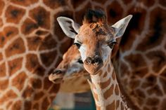 A team at the University of Vienna painstakingly gathered 947 hours of giraffe noises over an eight-year period at three European zoos. They hum to each other at night :) University Of Vienna, Prey Animals, Zoo Animals, Le Zoo, Free State, Stay Cool, Animal Welfare, Summer Sun, A Team