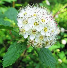 COMMON NINEBARK: (Physocarpus opulifolius). Photographed at McConnell's Mill State Park in Lawrence County, PA, June 11, 2016.