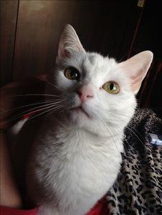 Gato blanco hermosos ojos albino