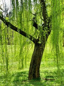 love weeping willow trees!