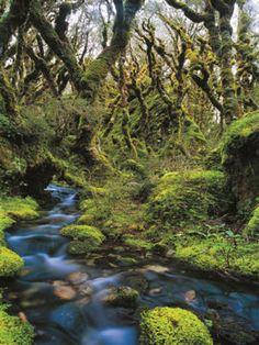Au royaume des Ents dans le Fiordland