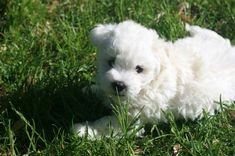 The Bolognese | 17 Lovely Small Dog Breeds That Don't Shed