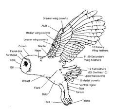 Owl Body Parts | Parts of the Owl