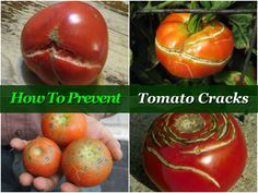 Tomatoes are the fruits of a living plant and thus there are natural variations in their appearance; even different varieties have differing characteristics.