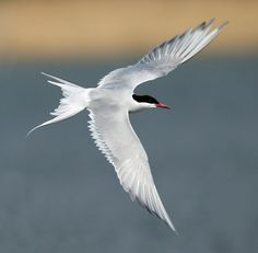 Arctic Tern Arctic Tern, Simple Art, Military Aircraft, Christmas Themes, Beautiful Birds, Enchanted, Owls, Insects, Wildlife
