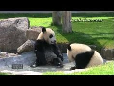 Twin Pandas playing!