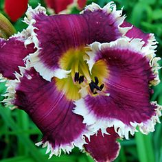 HAPPY TEETH (D. Trimmer) the Lily Auction - The Fun Daylily Marketplace