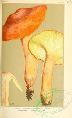agaricus (flammula) fusus, 2 - high resolution image from old book. Old Book Pages, Art Clipart, Picture Collection, Botany, Wall Collage, Book Art, Flora, Stuffed Mushrooms, Illustration Art