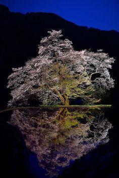 Achi, Nagano, Japan 駒つなぎの桜