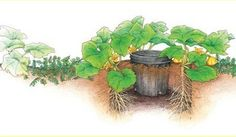 How to Grow Superb Summer Squash, To make watering easier, sink a pot in the ground at planting time and sow the squash seeds around the outside of the pot. When you fill the pot with water, it drains out the holes in the bottom, immediately reaching the roots of the plants. Plant a cover crop of hairy vetch around the hills to discourage weeds and feed the soil.